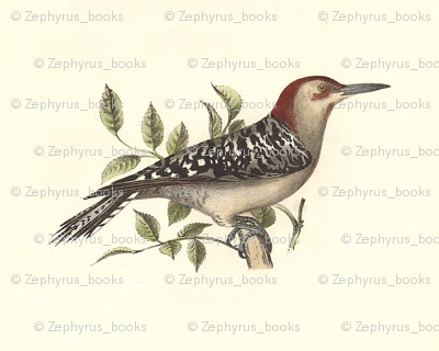 The Red-bellied Woodpecker - Vintage Bird / Birds Print