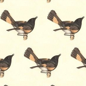 The American Redstart - Bird / Birds