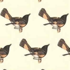 The American Redstart - Bird / Birds