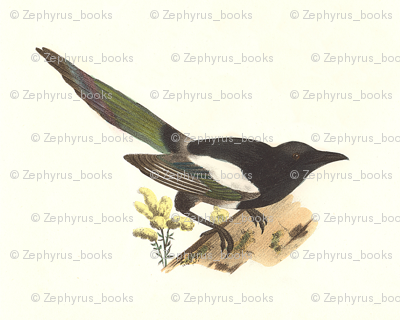 The Magpie - Bird / Birds