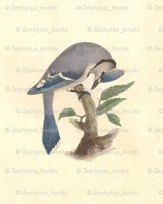 The Blue Jay - Bird / Birds