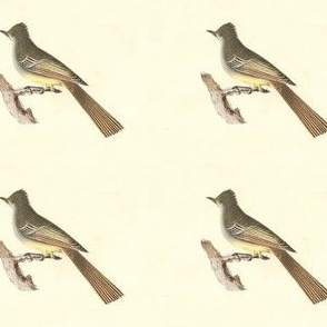 Great Crested Flycatcher (The Great-crested Kingbird) - Birds