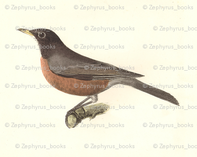 North American Robin - Bird / Birds