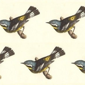 The Spotted Warbler - Bird / Birds