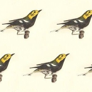 The Black-throated Green Warbler - Bird / Birds