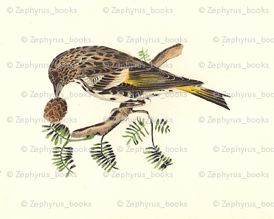 The Pine Finch (Pine Siskin) - Bird / Birds