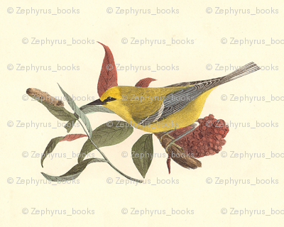 The Blue-winged Warbler - Bird / Birds