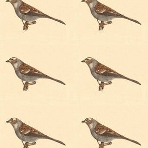 The White-crowned Sparrow - Bird / Birds