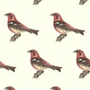 The White-winged Crossbill - Bird / Birds