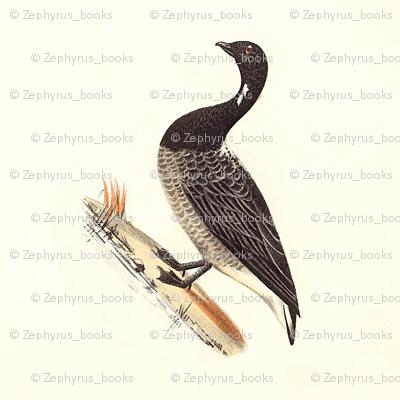 The Brant (Brent Goose) Bird - Vintage Bird / Birds Print