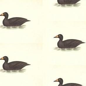 American Coot Bird - Birds / Ducks & Geese (Goose)