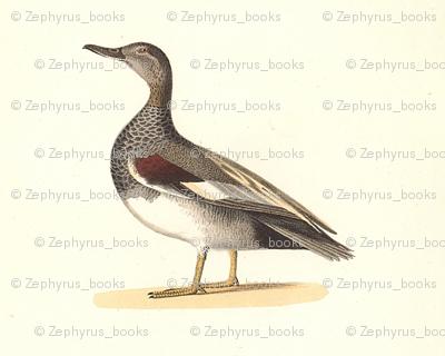 The Grey Duck (Gadwall) Bird - Birds / Ducks & Geese (Goose)