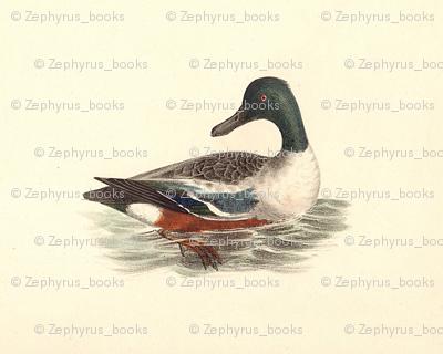 The Northern Shoveler Bird - Birds / Ducks & Geese (Goose)