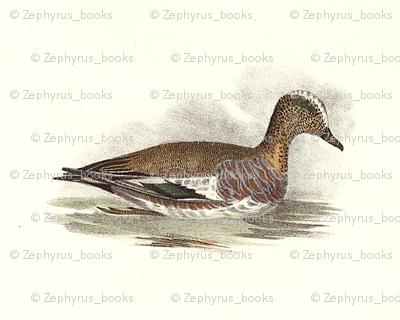 American Widgeon Bird - Birds / Ducks & Geese (Goose)