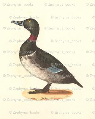 The Ring-necked Duck Bird - Birds / Ducks & Geese (Goose)