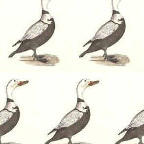 The Labrador Duck Bird - Birds / Ducks & Geese (Goose)