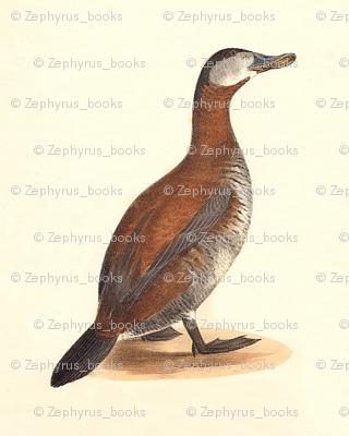 The Ruddy Duck Bird - Birds / Ducks & Geese (Goose)
