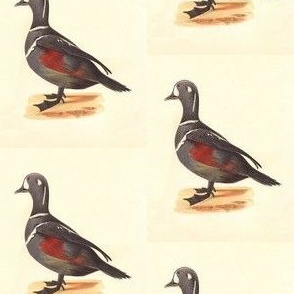 The Harlequin Duck Bird - Birds / Ducks & Geese (Goose)