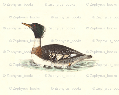The Red-breasted Sheldrake Bird - Birds / Ducks & Geese (Goose)