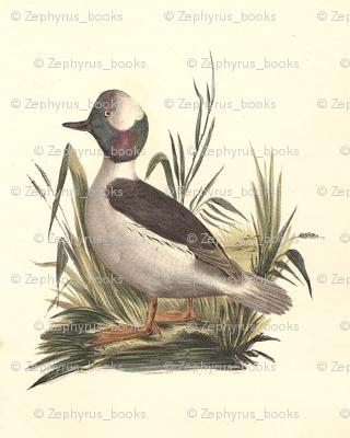 The Buffle-headed Duck Bird - Birds / Ducks & Geese (Goose)