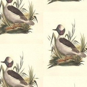 The Buffle-headed Duck Bird - Birds / Ducks & Geese (Goose)