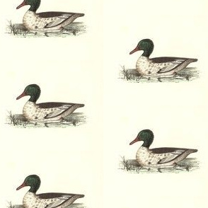 The Buff-breasted Sheldrake Bird - Birds / Ducks & Geese (Goose)
