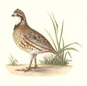 The American Quail - Bird / Birds