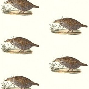 The Pinnated Grouse - Bird / Birds