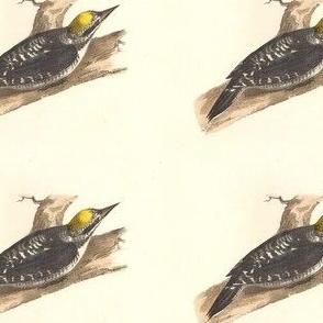 Arctic Three-toed Woodpecker - Vintage Bird / Birds Print