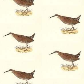 The Mud-hen - Bird / Birds