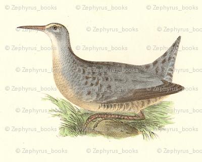 The Saltwater Meadow-hen - Bird / Birds