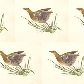 The Sora Rail - Bird / Birds
