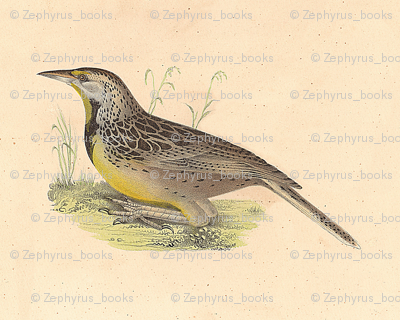 Eastern Meadowlark - Bird / Birds