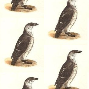 The Sea Dove - Vintage Bird / Birds Print (COMMON SEA-DOVE or LITTLE AUK)