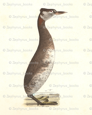 The Red-necked Grebe - Vintage Bird / Birds Print