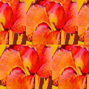 bearded iris 21 x 18