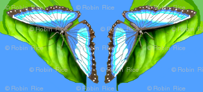 Blue Morpho Butterfly Welcomes Spring