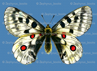 Butterfly Parnassius apollo