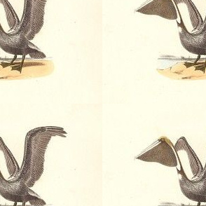 The Brown Pelican - Vintage Bird / Birds Print