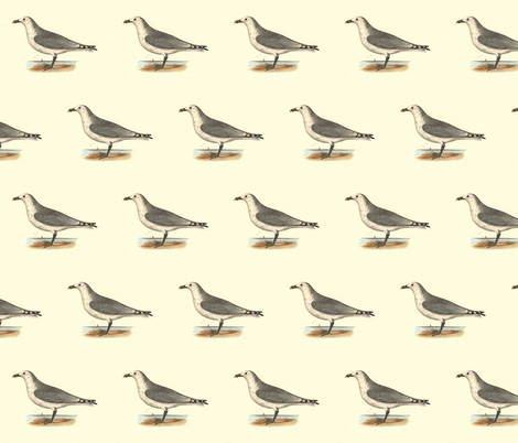 The Common American Gull - (Seagull or Sea Gull) Vintage Bird / Birds Print