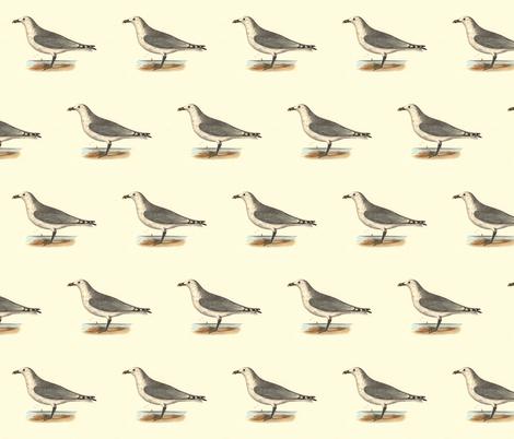 The Common American Gull - (Seagull or Sea Gull) Vintage Bird / Birds Print