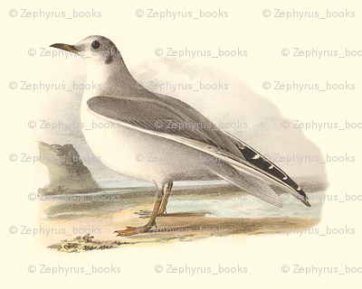 Bonaparte's Gull - (Seagull or Sea Gull) Vintage Bird / Birds Print