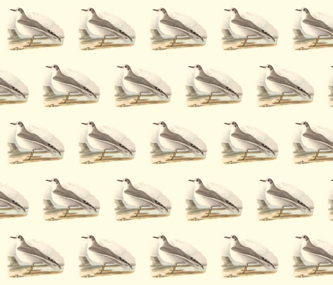 Bonaparte's Gull - (Seagull or Sea Gull) Vintage Bird / Birds Print fabric by zephyrus_books on Spoonflower - custom fabric