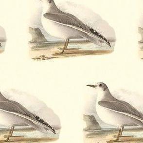 Bonaparte's Gull - (Seagull or Sea Gull) Vintage Bird / Birds Print