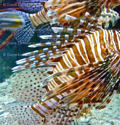 Lionfish Rounds