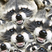 raccoon infinity