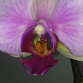 Close Up Orchid