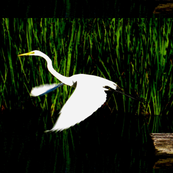White Egret Flying