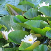 Water Lillies Garden Quilt Center