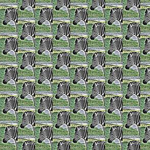 zebradrama